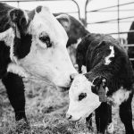 Understanding Cattle Supplements